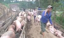 Cấm xuất lợn sang Trung Quốc, giải thích từ Bộ NN&PTNT