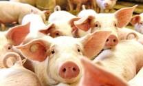Triển khai các biện pháp kiểm soát vận chuyển lợn và sản phẩm lợn