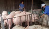 Xuất lợn tiểu ngạch sang Trung Quốc chỉ lợi trước mắt
