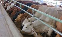 Phú Yên: Vỗ béo bò thịt - Mô hình đem lại hiệu quả kinh tế cao tại Tuy An