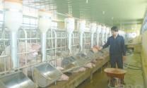 Bình Định: Thận trọng tái đàn gia súc, gia cầm