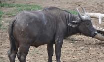 Điều trị bệnh liệt dạ cỏ ở trâu, bò