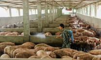 Đòn 'thanh lọc' giúp chấn hưng ngành thịt lợn 118 tỷ USD của Trung Quốc