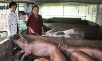 Sóc Trăng: Hơn 180 tỷ đồng hỗ trợ hộ chăn nuôi