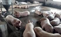 Hà Nội: Tiêu hủy 1.135 con lợn mắc bệnh Dịch tả lợn châu Phi