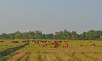 Quảng Nam: Khấm khá nhờ nuôi bò tập trung