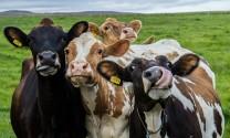Cơ hội phát triển chăn nuôi bò sữa