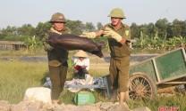 Cẩm Xuyên tiêu hủy hơn 8.600 con lợn nhiễm dịch tả lợn châu Phi
