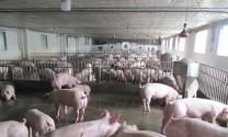 Hà Nội: 232 xã, phường, thị trấn đã qua 30 ngày không phát sinh bệnh Dịch tả lợn châu Phi