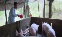 Quy hoạch vùng chăn nuôi tập trung sau dịch tả lợn châu Phi