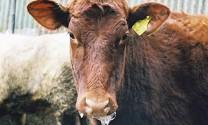 Ngăn ngừa lở mồm long móng cho gia súc
