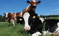 Flavonoid tăng năng suất bò sữa
