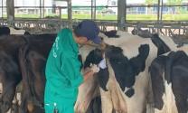 Kỹ thuật thụ tinh nhân tạo trâu, bò (Phần cuối)