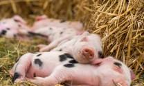 Trung Quốc: Nhập khẩu 900 heo giống từ Đan Mạch