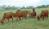 Điều trị bệnh chướng hơi dạ cỏ cấp tính trên trâu, bò