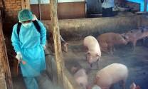 Bắc Ninh: Đàn gia súc, gia cầm được tiêm phòng đại trà