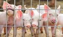 Philippines: Aboitiz tìm cách thâu tóm các trang trại chăn nuôi ở nước ngoài