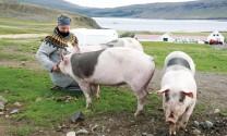 Phúc lợi động vật như Iceland