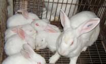 Phú Thọ: Làm giàu từ nuôi thỏ New Zealand