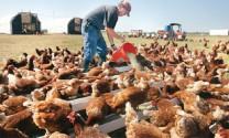 Ngành chăn nuôi gà tây Mỹ: 7 công nghệ số đột phá