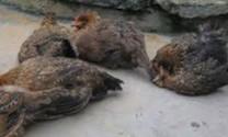 Xử lý bệnh đầu đen ở gà
