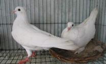 Bệnh thương hàn trên chim bồ câu