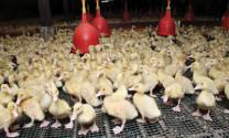 Kỹ thuật chăn nuôi vịt, ngan 1 - 4 tuần tuổi