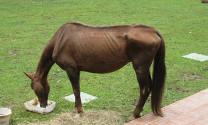 Phòng trị bệnh giun đũa trên ngựa