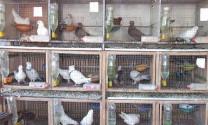 Các kiểu chuồng nuôi chim bồ câu