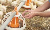 Những hiểu biết mới về axit amin cho gà (Phần 1)
