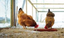 Cách phòng bệnh cho gà thời điểm giao mùa