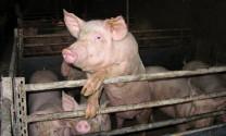 Phục hồi chăn nuôi sau dịch ASF