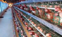 An toàn sinh học với cơ sở chăn nuôi gia cầm sinh sản