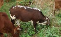 Phòng trị bệnh chướng hơi dạ cỏ trên bò