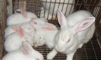 Cách hạn chế thỏ mẹ ăn thịt thỏ con