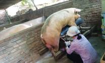 Bệnh lý sinh sản thường gặp ở lợn đực giống