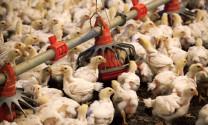 Chăn nuôi 2019, một năm nhiều bão tố