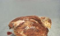 Bệnh cầu trùng trên gà