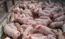 Định hướng phát triển chăn nuôi