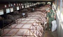 Chăn nuôi theo hướng hàng hóa: Kỳ vọng động lực mới