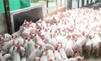 Cung - cầu và bài toán quy hoạch chăn nuôi