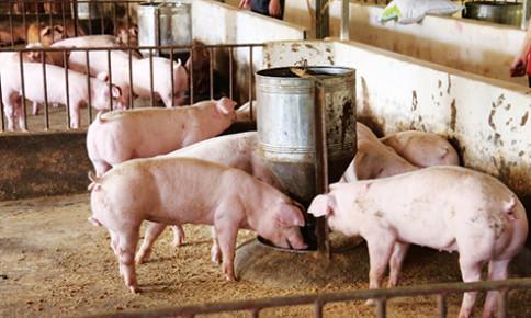 Năng suất, hiệu quả như chăn nuôi an toàn sinh học