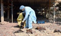 Thanh Hóa: 2,3 vạn gia cầm bị tiêu hủy vì cúm A/H5N6