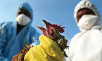 Nhiều nơi hết dịch cúm gia cầm A/H5N6