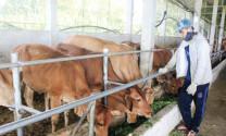 Hiệu quả kinh tế cao như nuôi bò lai