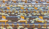Phần Lan nuôi gà không kháng sinh