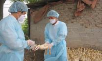 Thủ tướng chỉ thị quyết liệt phòng chống dịch bệnh gia súc, gia cầm
