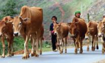 Hà Giang: Phát triển 500 con đại gia súc tại Yên Minh