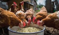 Protein trong chăn nuôi gia cầm