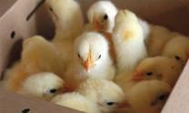 Phương pháp chọn gà giống chất lượng